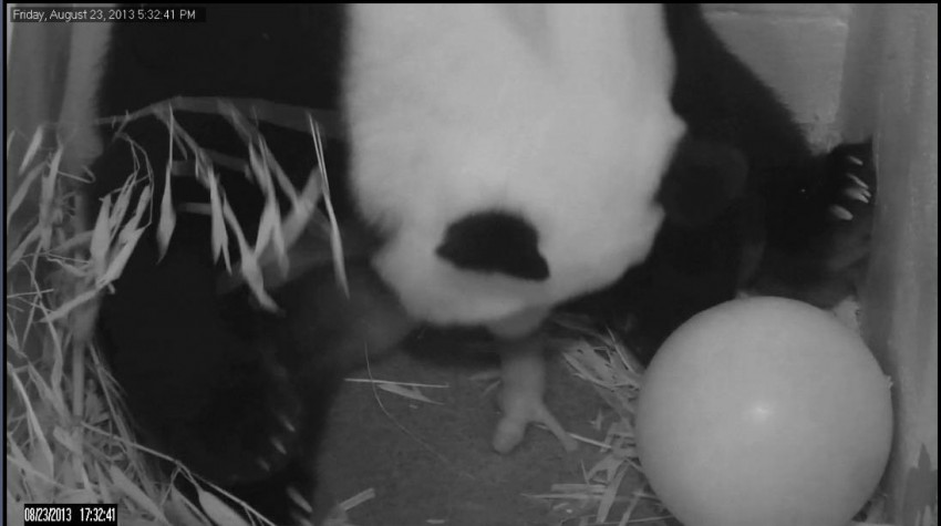 Bao Bao's birth