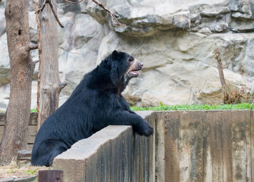 Andean Bear Cisco at the Smithsonian's National Zoo