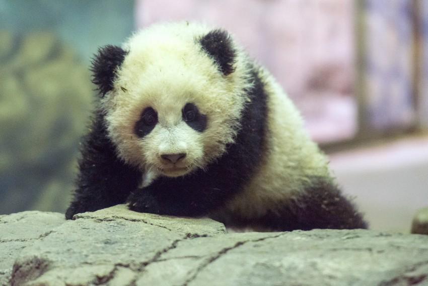 Bao Bao makes her public debut.