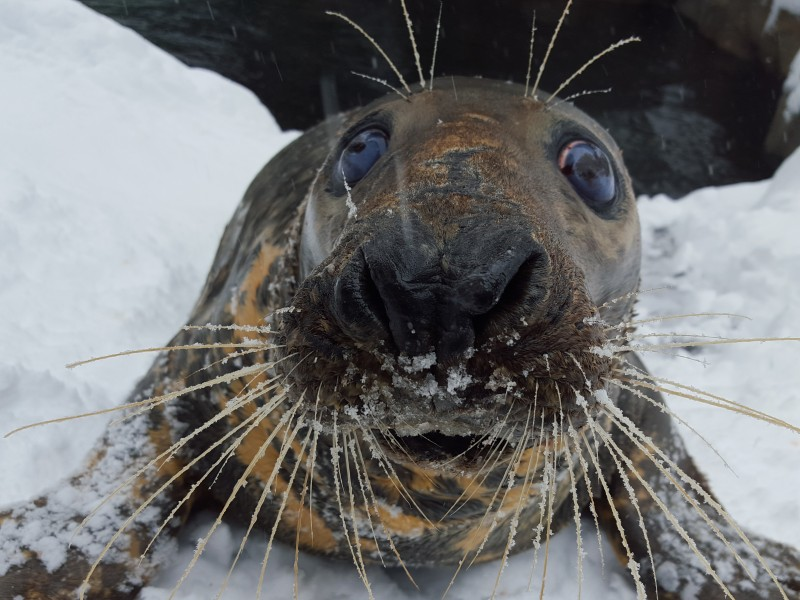 Gray Seal Selkie