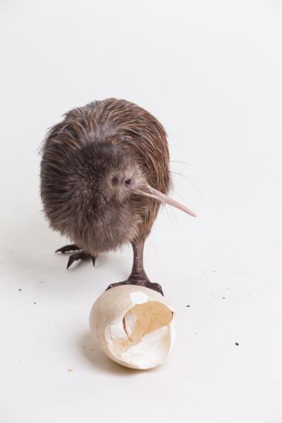 Kiwi chick
