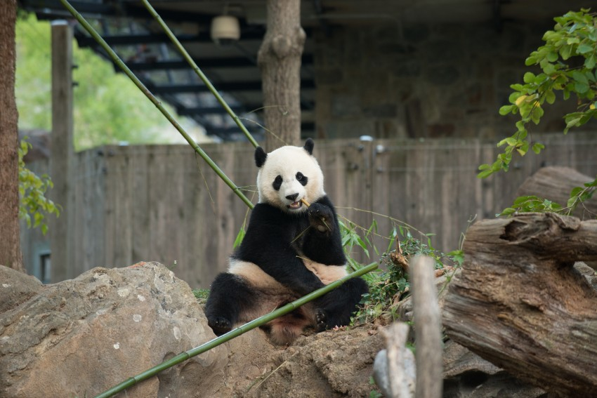 Bao Bao in her yard eating bamboo