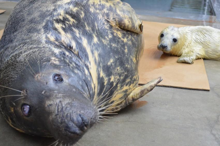 Gray Seal Pup and Mom