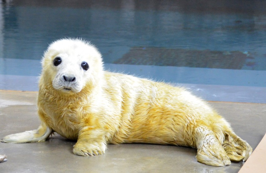Gray Seal Pup
