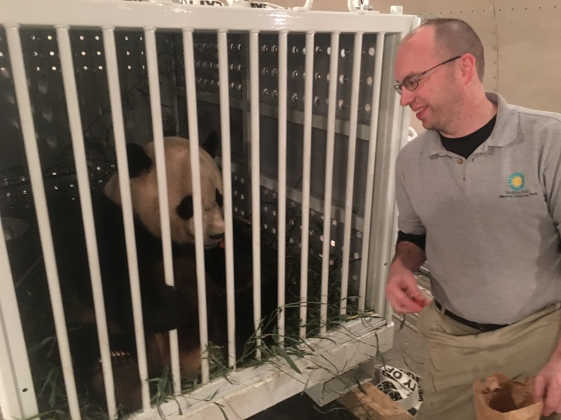 Giant panda Bao Bao looks out of travel crate at keeper Marty Dearie shortly after arriving in China