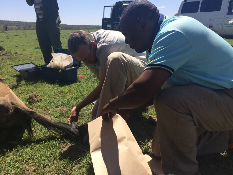 Shaving a wildebeest's tail