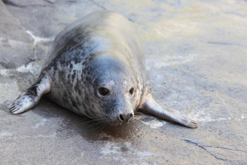 Gray seal Birdie explores her habitat on American Trail