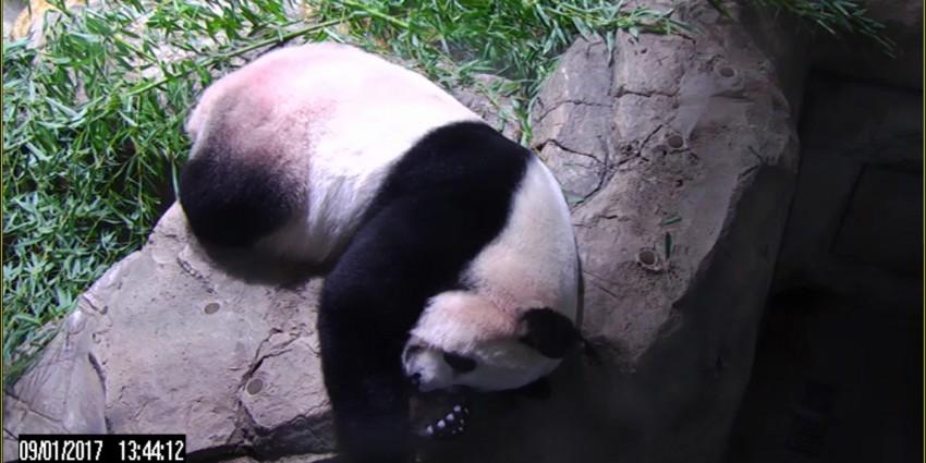 Mei Xiang sleeping