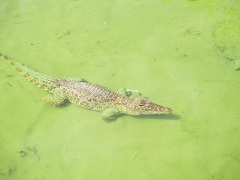A Cuban crocodile at the Crocodile Farm in Cuba.