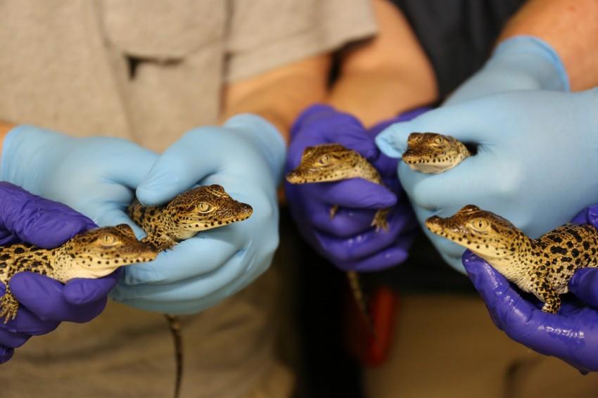 tiny newborn crocodiles
