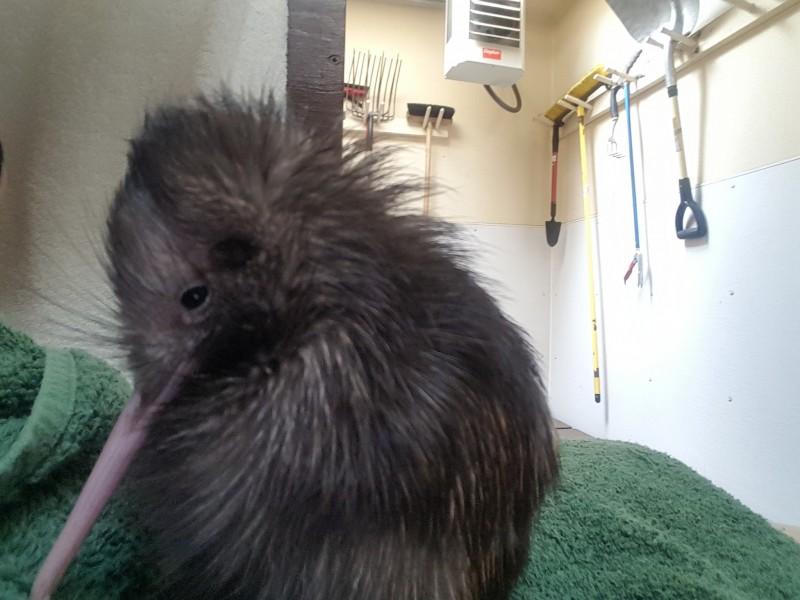 kiwi resting
