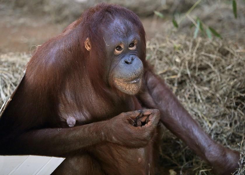 orangutan sitting