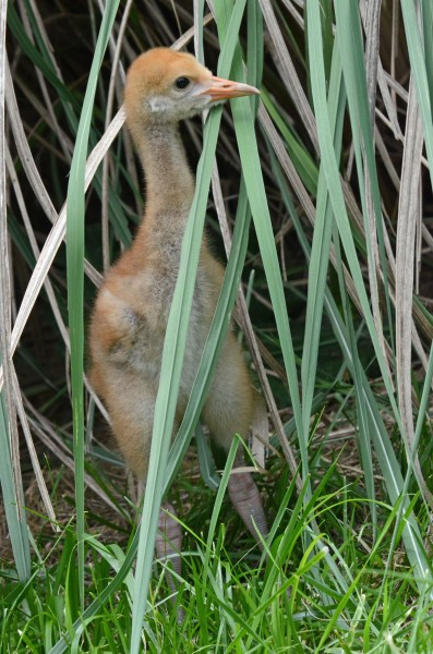 Hooded crane chick in the grass
