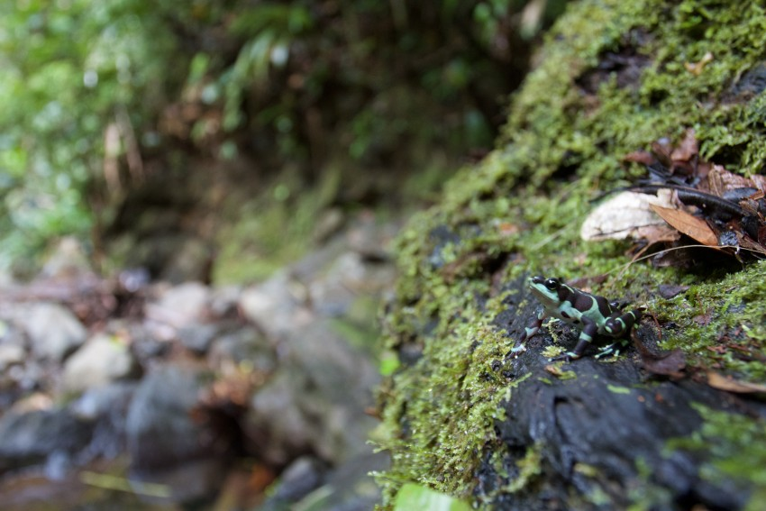 A female Limosa harlequin frog on a mossy rock in a stream bed.