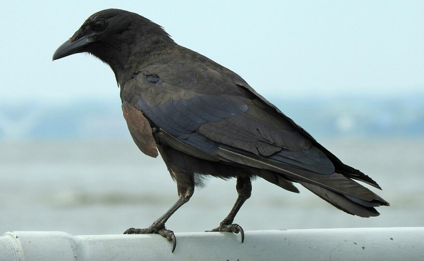 Large, dark bird perched on railing