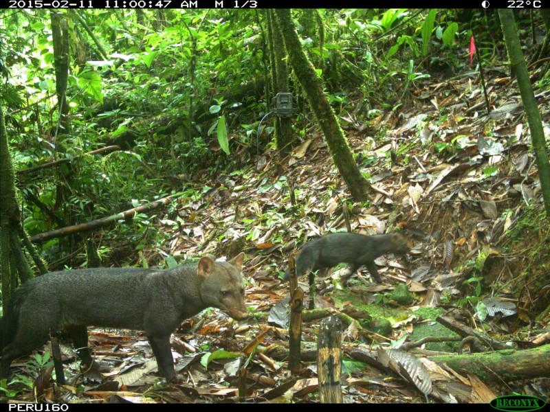 Short-eared dog caught on camera trap