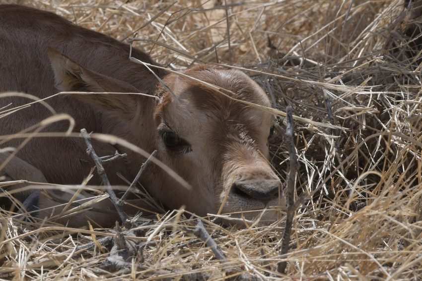 Scimitar-horned oryx calf in the wild in Chad
