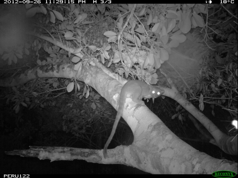 A black and white camera trap photo of a long-tailed furry animal in a tree