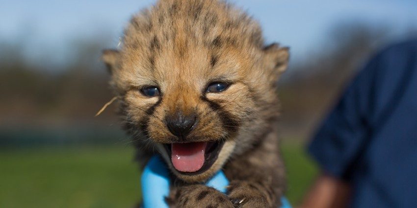 cheetah cub with its mouth open being held in a gloved hand