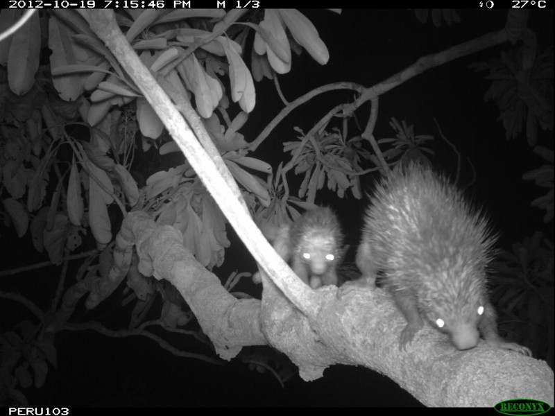 A black-and-white camera trap photo of two porcupines in a tree