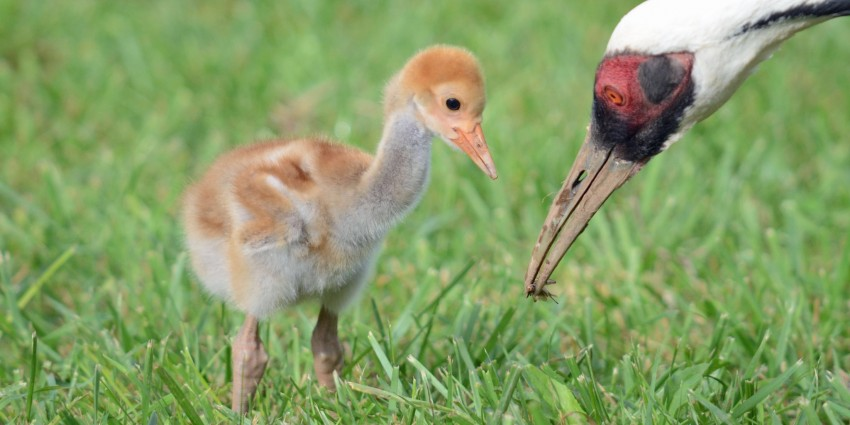 White-naped crane chick and parent