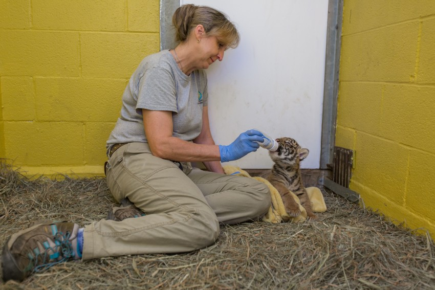Great Cats keeper Dell Guglielmo supplemental feeds the 6-week-old Sumatran tiger cub.