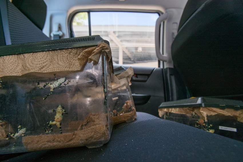 Limosa harlequin frogs in a transport crate in the back seat of a vehicle.