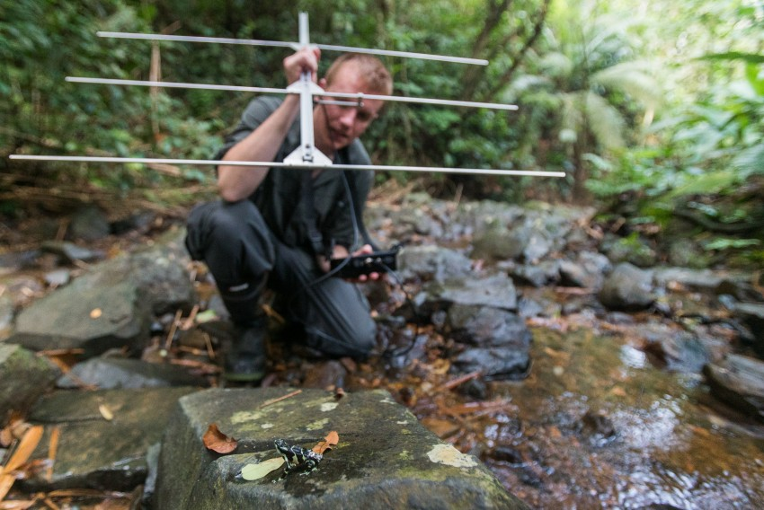 Smithsonian-Mason School of Conservation Ph.D. student Blake Klocke uses a radio transmitter to track 16 Limosa harlequin frogs