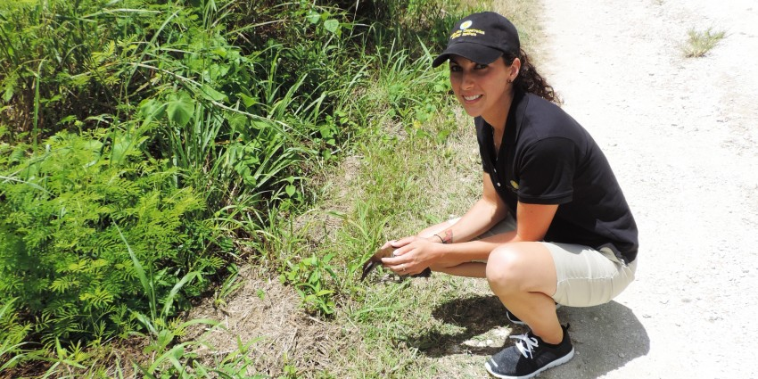 Smithsonian Conservation Biology Institute animal keeper Erica Royer releases Guam rails on Rota.