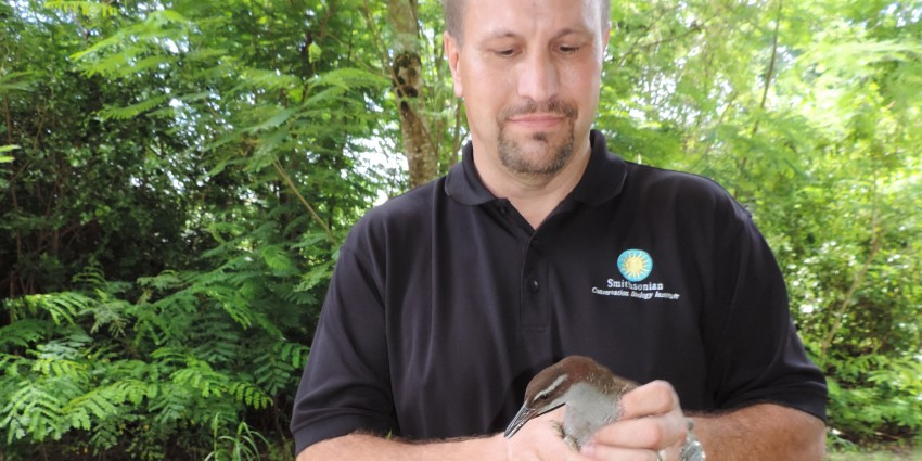 Smithsonian Conservation Biology Institute deputy director Will Pitt releases Guam rails on Rota.