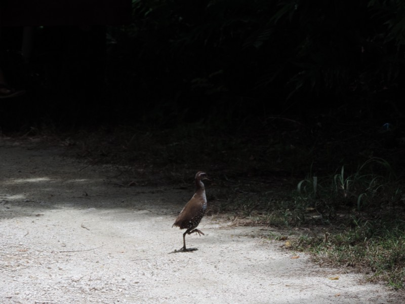 Guam rail released to the wild.