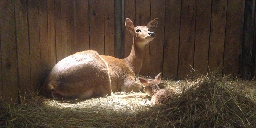 Mother and baby eld's deer sitting in hay inside a barn