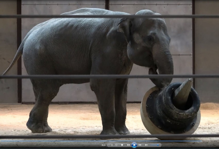 Asian Elephant Swarna plays with an enrichment object