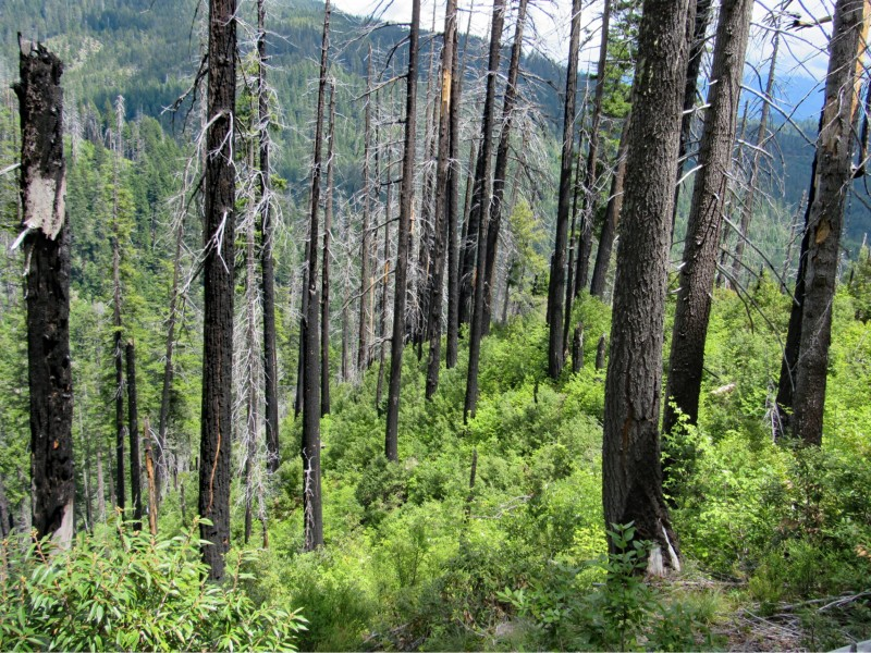 characteristic vegetation pattern following high-severity fire in the Klamath region