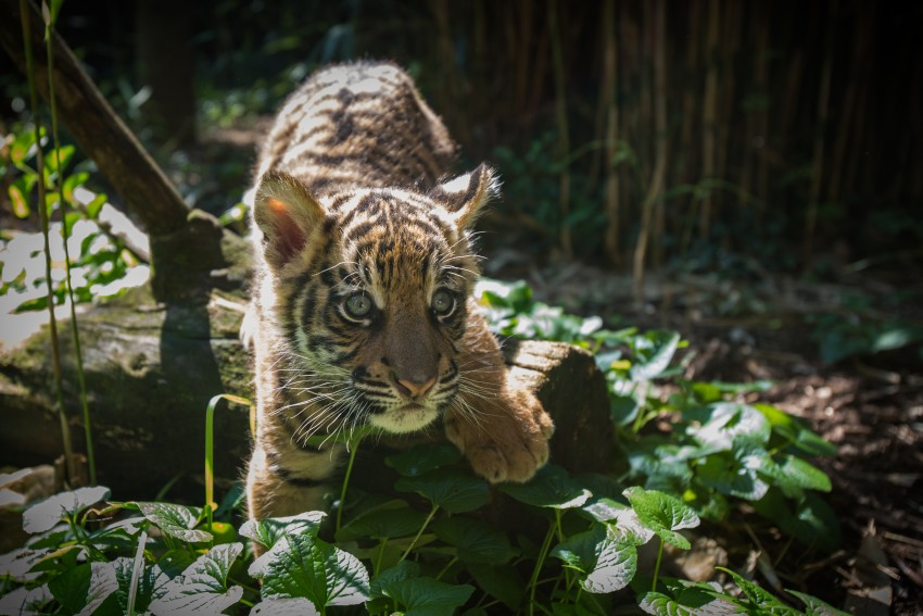 Smuggled Bengal tiger cub gets new playmate at San Diego Zoo