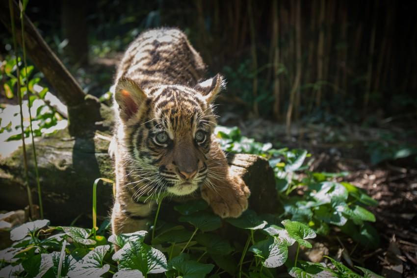 a tiger cub steps over a log