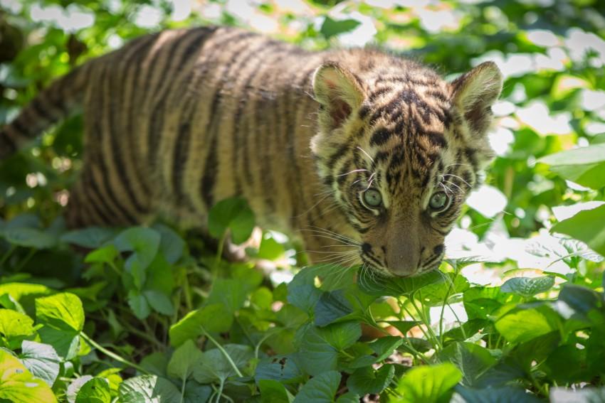 a tiger cub sniffs green foliage