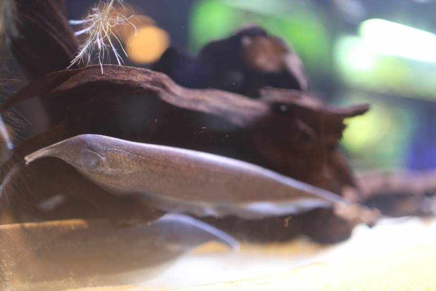Elephant nose knifefish