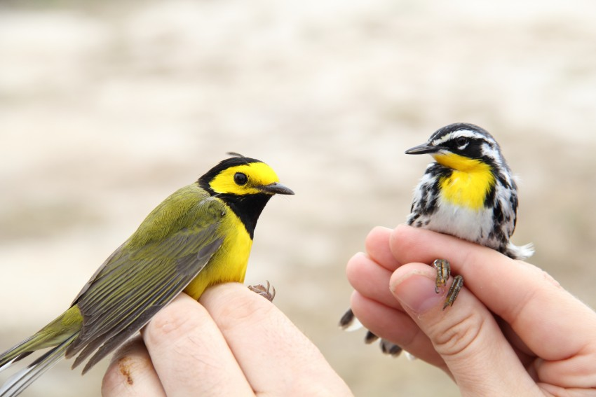 Two hooded warbler birds in someone's hands