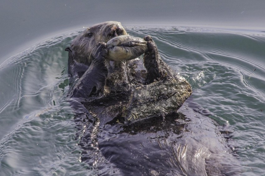 Sea otter floats on its back in the water and uses rock to open clam