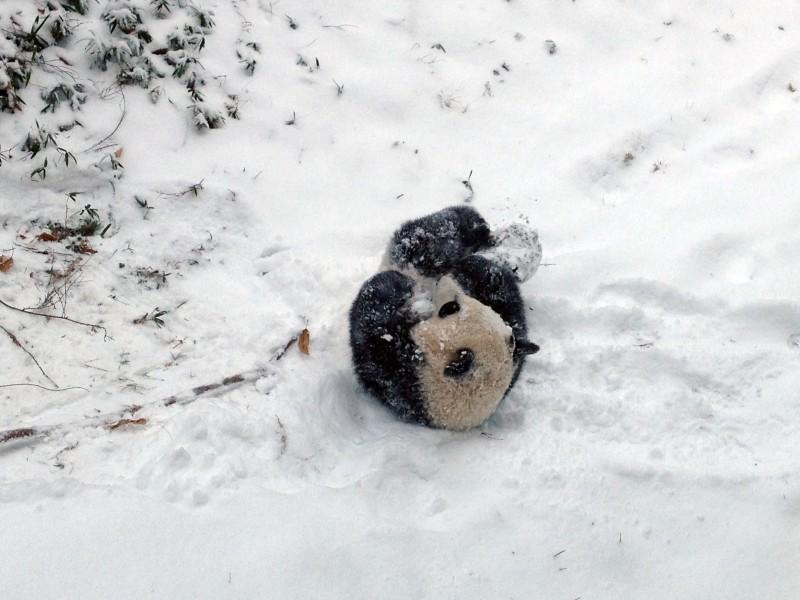 Bao Bao enjoys her first snow storm.