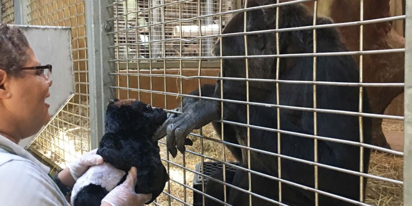 Animal keeper Melba Brown holds a toy gorilla up to Calaya for her to examine.