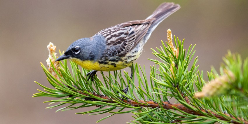 bird on pine bough