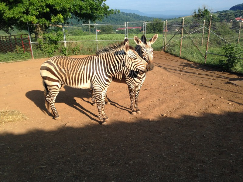 Two zebras standing in the sun with their heads together