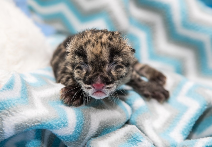a clouded leopard cub with eyes still closed on a blanket