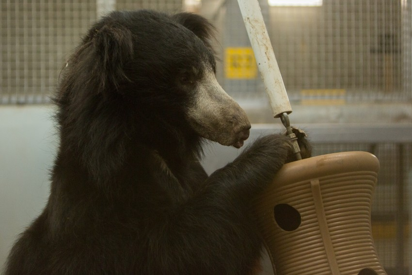 A male sloth bear with his front legs resting on an enrichment toy