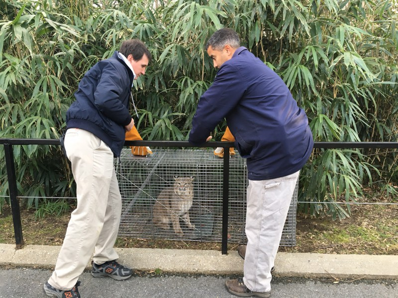 animal care staff lift bobcat in cage out of wooded area