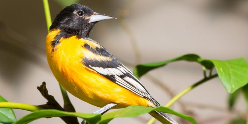 Atrayendo Baltimore Orioles | Tienda de aves silvestres