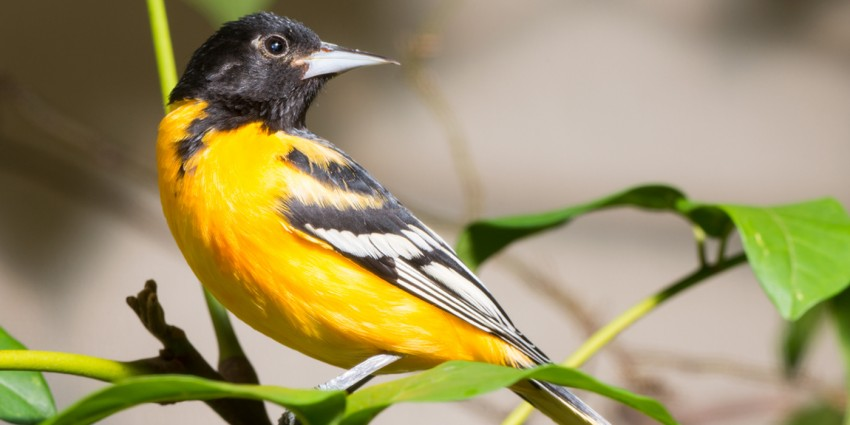 An oriole perched on a branch