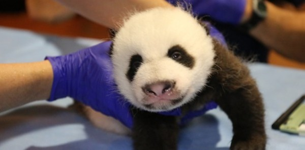 panda cub Bei Bei held by vets
